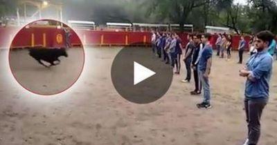 Diese Studenten wollen beweisen, dass Stiere nicht von selbst angreifen