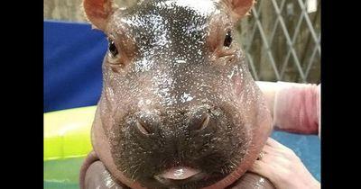 Dieses Nildpferd-Baby begeistert mit seiner Reaktion das Internet
