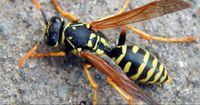 Achtung: 2017 wird zum Super-Wespenjahr!