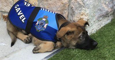 Hund fliegt von der Polizeischule