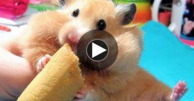 So reagiert dieser Hamster, als man ihn am Ohr berührt