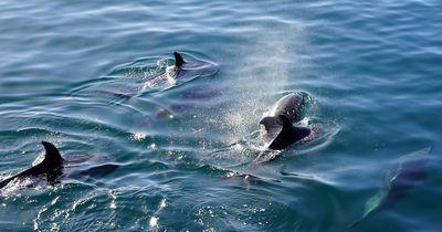 Unglaublich seltene Delfin-Art gesichtet