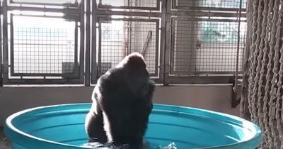 Was dieser Gorilla hier tut, versüßt jedem den Tag