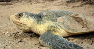 Diese Schildkröte lässt sich trotz Behinderung nicht unterkriegen