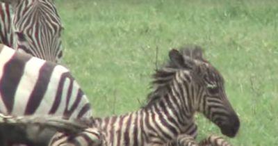 So unglaublich sieht eine Zebra-Geburt aus