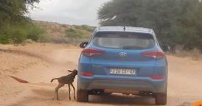 Baby-Gnu vertauscht Auto mit seiner Mama und folgt ihm