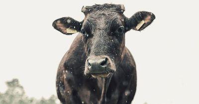 Kuh in Schwierigkeiten bekommt Hilfe von ungewöhnlicher Seite
