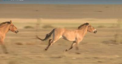 Die Przewalski-Pferde kehren in die Mongolei zurück