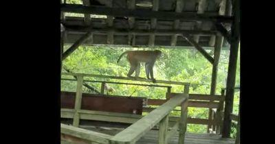 In diesem Park in Florida muss man sich vor Affen fürchten