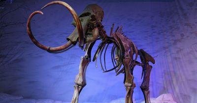 Wissenschaftler wollen das Mammut wiederbeleben