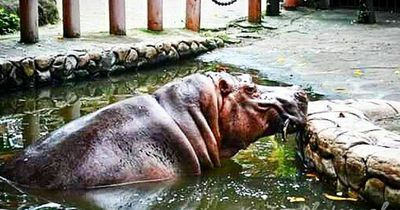 Das älteste Nilpferd der Welt ist gestorben