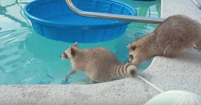 Dieser Waschbär versucht verzweifelt, seinen Bruder zu retten