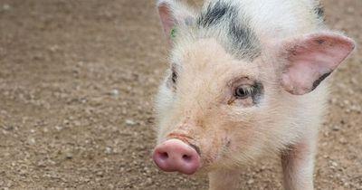 Immer mehr mutierte Schweine werden geboren