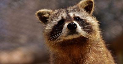 Diese 4 Waschbären sollten sterben - doch er weigert sich, das zuzulassen!