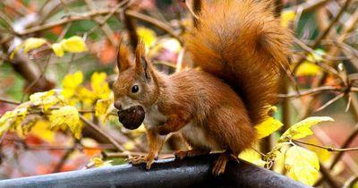 Berliner Eichhörnchen fallen Pocken-Epidemie zum Opfer