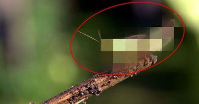 Das ist das größte Insekt der Welt
