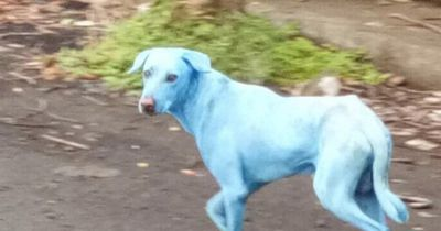 Die Farbe dieser Hunde ist mehr als ungewöhnlich