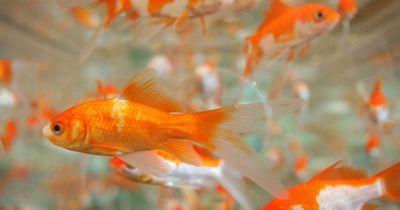 Neue Studie zeigt, dass Goldfische Alkohol herstellen können