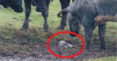 Welches Babytier diese Kühe auf ihrem Feld entdeckten, wirst du nicht glauben!